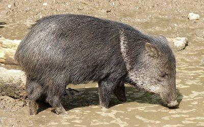 Mazzaropi